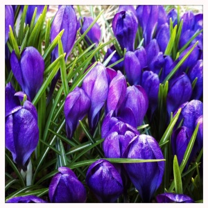 crocus stirrings