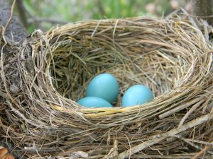 American_Robin_Nest_with_Eggs