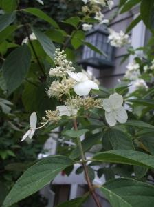 savoring fall hydrangea tree