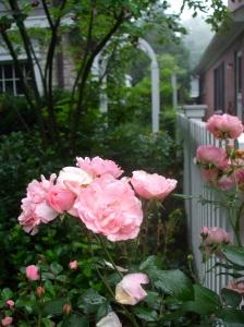 june rambling rose