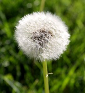 dandelion_gone_to_seed