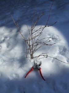 forsythia snow