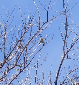 rare hooded warbler. with ceci. on magic day at magic hedge....