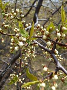 magic hedge blossom