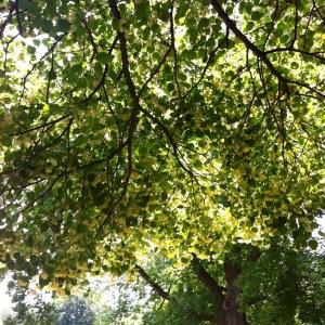 tilo tree
