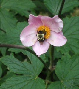 anemone bee