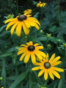 black-eyed susan another