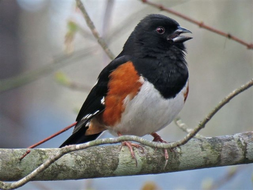 Rufous_Sided_Towhee