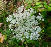 queen anne's lace, autumn's finest crewel work